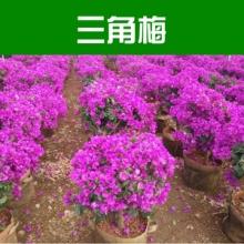 供应三角梅 叶子花 三角花 柳州绿化苗木基地