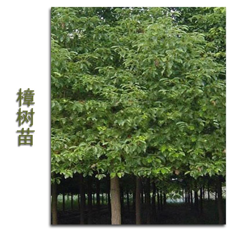 供应用于城市绿化的福建樟树苗基地
