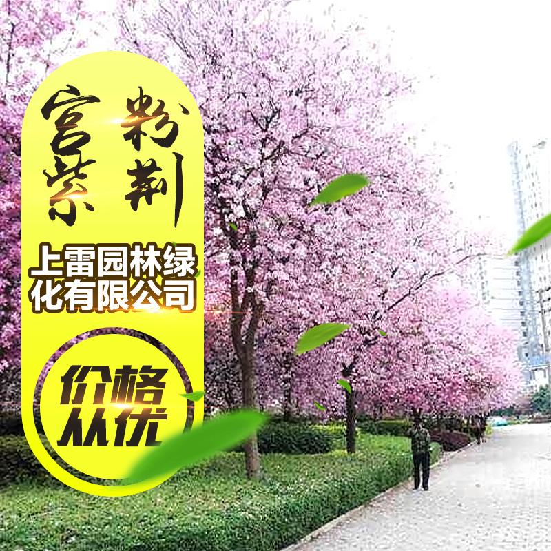 宫粉紫荆图片/宫粉紫荆样板图 (1)