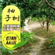 广西柚子树图片