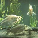 供应用于垂钓 养殖的太湖鳊鱼
