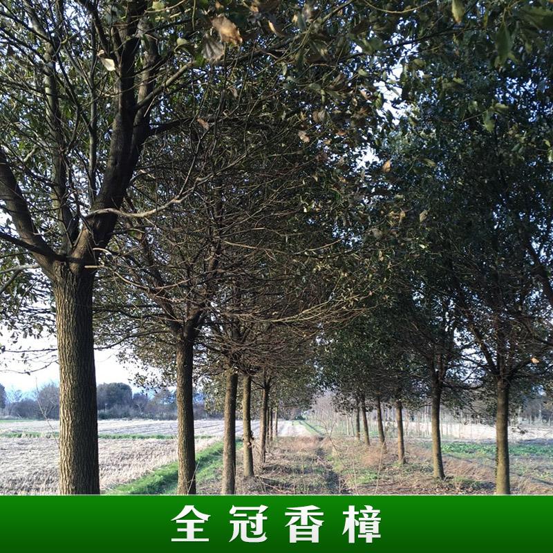 浙江泗安诚友苗木场供应全冠香樟苗木 园林绿化常绿乔木香樟树 全冠香樟树