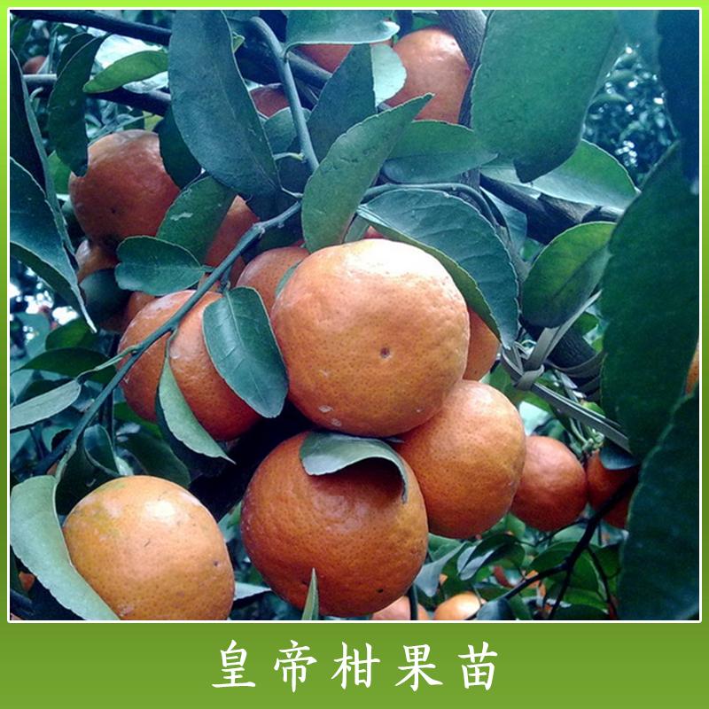 广西高产柑橘树苗木批发价 广西哪里有高产柑橘树苗卖 广西皇帝柑苗价钱