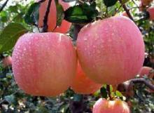 山东哪里批发红富士苹果便宜 哪里供应红富士苹果价格便宜 山东苹果图片