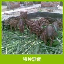 安徽特种野猪 纯种驯化杂交野猪 肉用野猪养殖 特种养殖野猪种苗