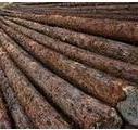 黑龙江桦木图片