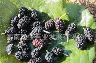 果树苗木批发直销 湖南果苗 智利黑树莓苗 树莓种苗 当年种当年结