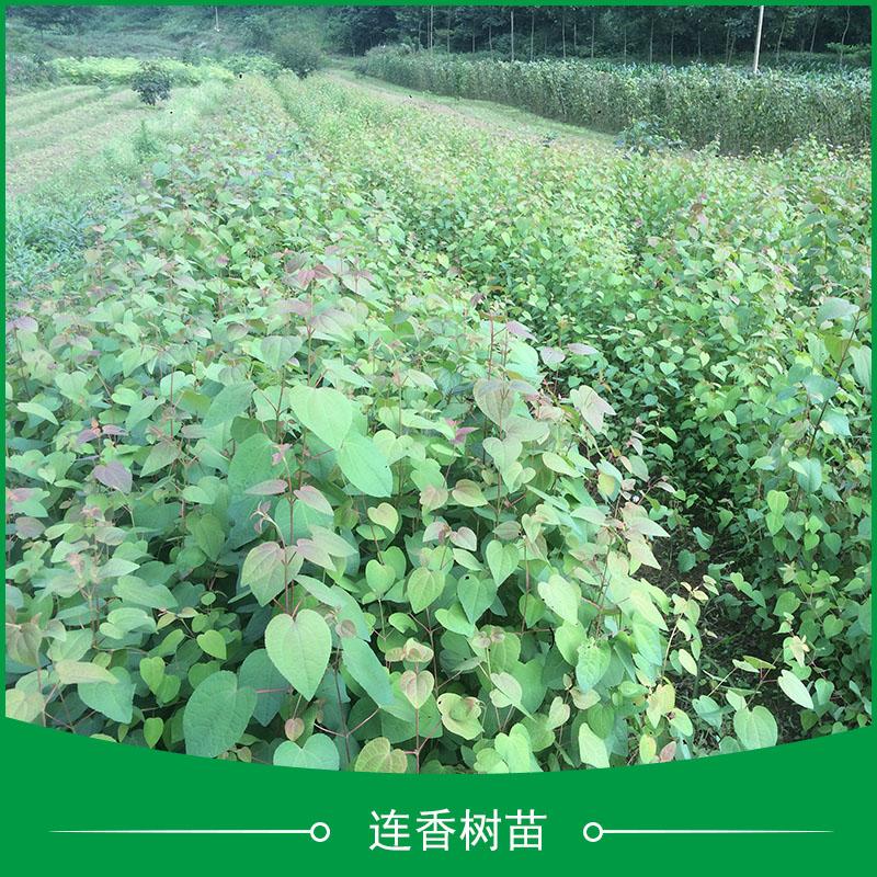 连香树苗供应 园林绿化观赏树种国家二级保护植物连香树苗价格