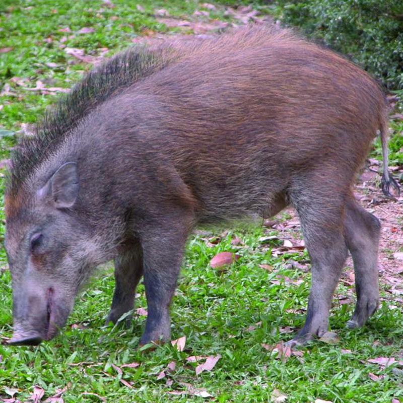 隐居山原生态腊野猪肉 隐居山原生态 腊野