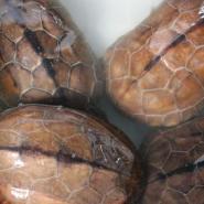 草龟头苗批发图片