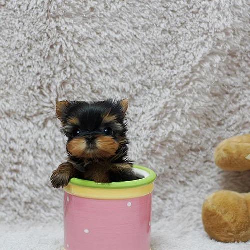 纯种约克夏犬专业繁育名犬之后约克夏宝宝聪明可爱血统好可上门挑选
