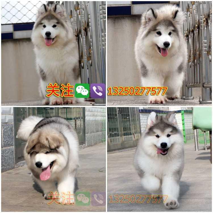 纯种阿拉斯加雪橇犬广东广州雪橇犬阿拉斯加多少钱诚骏狗场繁殖阿拉斯加