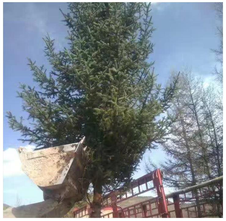 甘肃云杉,、甘肃云杉内蒙西藏绿化树 甘肃云杉1米1、2米1、5米2米