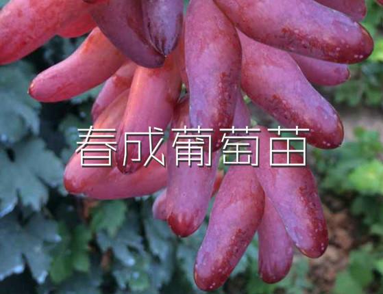 供应新品种葡萄苗