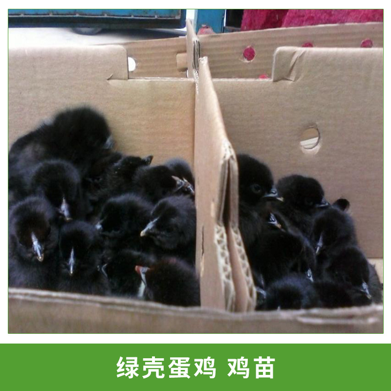 绿壳蛋鸡苗 五黑鸡 江西绿壳蛋鸡鸡苗 东乡绿壳蛋鸡苗纯种