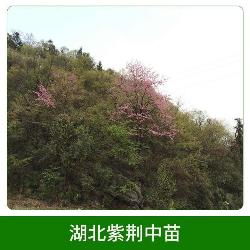 湖北紫荆中苗销售