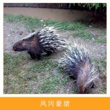 特种兽畜养殖场凤冈豪猪人工生态养殖食用型豪猪刺猪箭猪