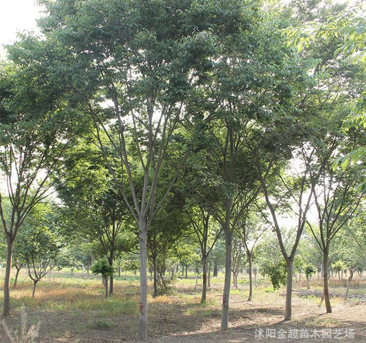 苗圃批发榉树树苗 工程绿化苗红榉苗 规格全 榉树小苗 防护树