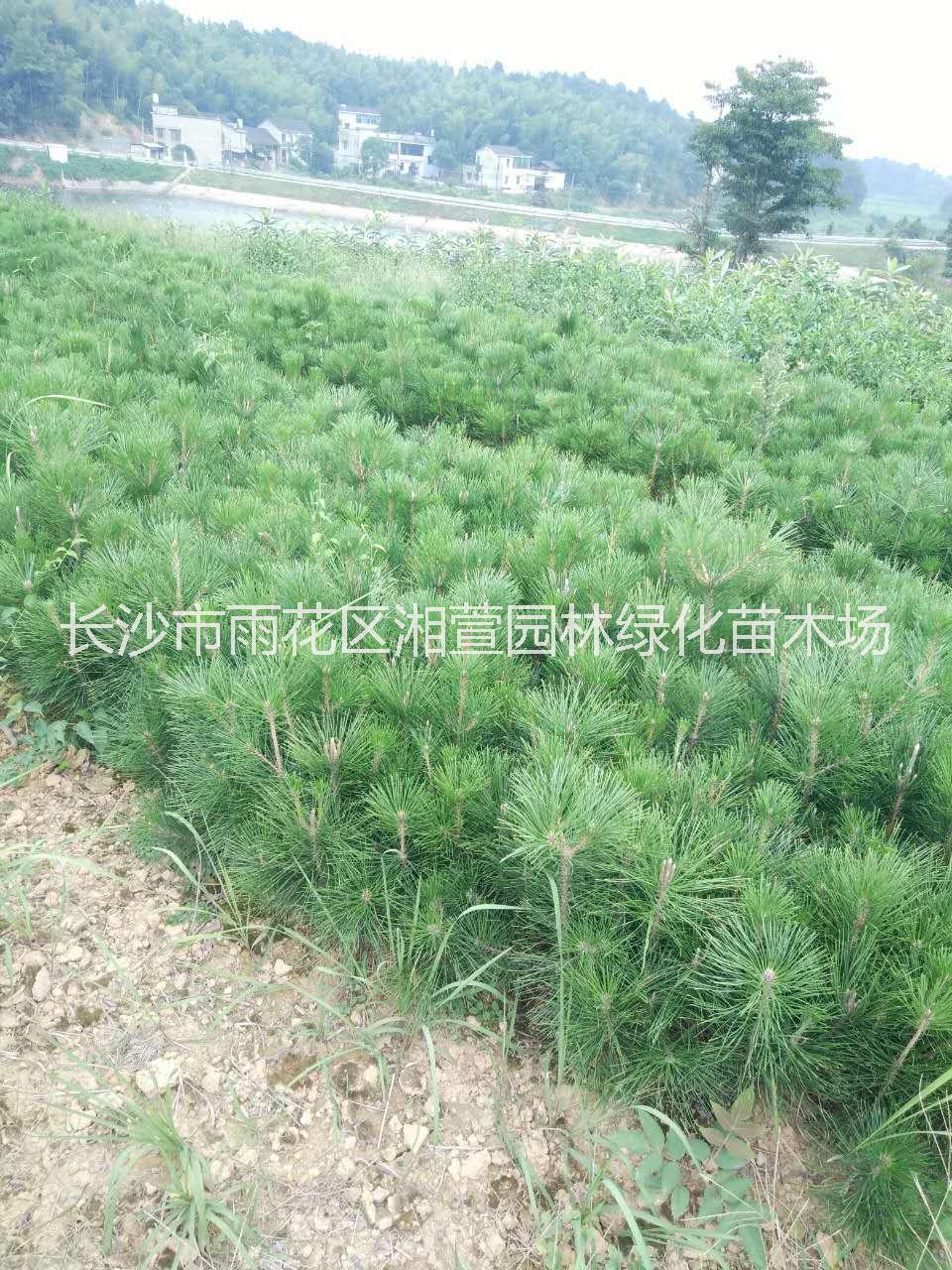 湖南白芽松苗圃直销 黑松盆栽批发价格-10、20公分黑松小苗供应商