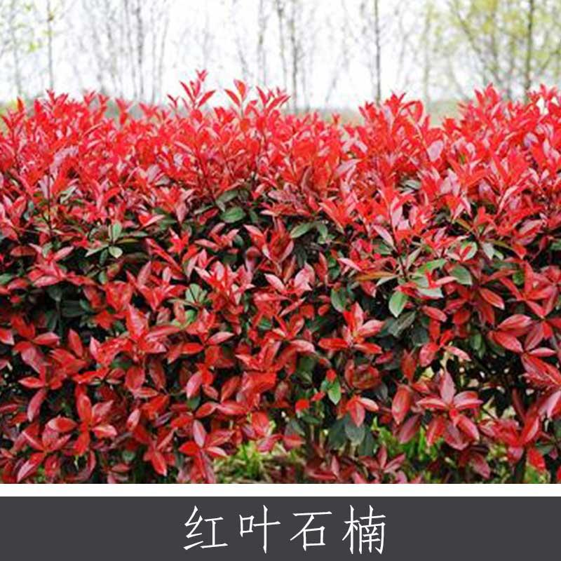 红叶石楠 多种规格道路园区观赏植物落叶灌木小乔木 基地实惠价批发
