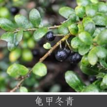 龟甲冬青 盆景庭植观赏植物 常绿灌木乔木 豆瓣龟背冬青长期供应