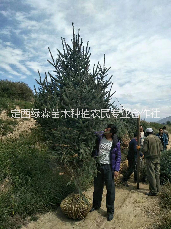 甘肃1米1.2米2米3米4米,云杉树苗 甘肃云杉、云杉、西北云杉树苗