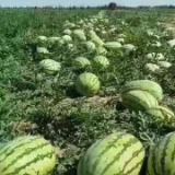 新疆西瓜销售 新疆西瓜什么价格 西瓜商城 新疆西瓜品种 西瓜影音绿色版  西瓜商城官网