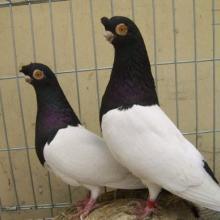 供应芙蓉 淑女凤尾 两头乌 元宝等观赏鸽,观赏鸽品种大全