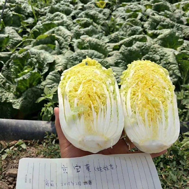 xy.京宝黄大棵娃娃菜白菜种子叶绿黄心白菜种子高品质白菜种子基地批发价格