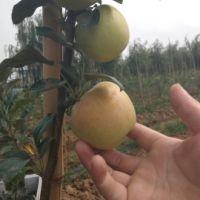陕西信浓金苹果苗