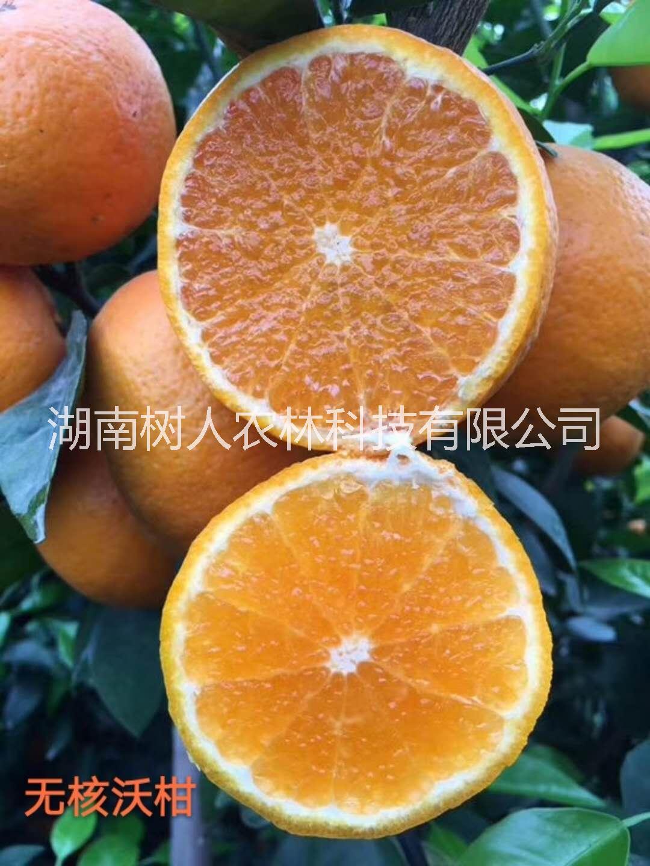 供应 091无核沃柑柑橘苗基地直销各品种柑桔苗脐橙苗陆地营养杯苗等