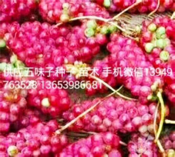 供五味子苗木高1米500万株