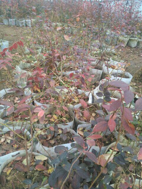 酷派蓝莓苗怎么种植 适合盆栽地栽种植