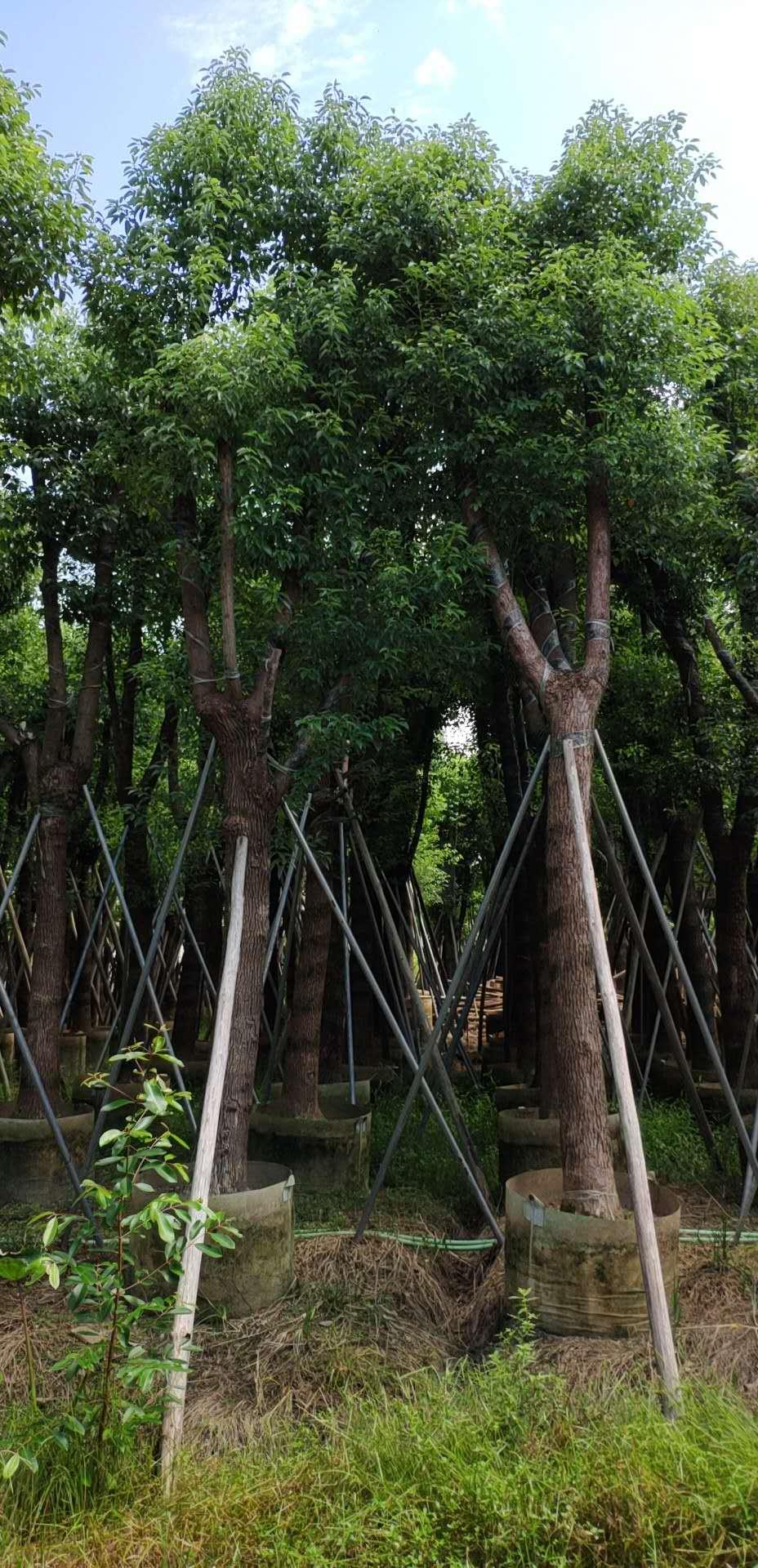 香樟树基地 25公分香樟树基地  香樟树种植商   香樟大型种植基地