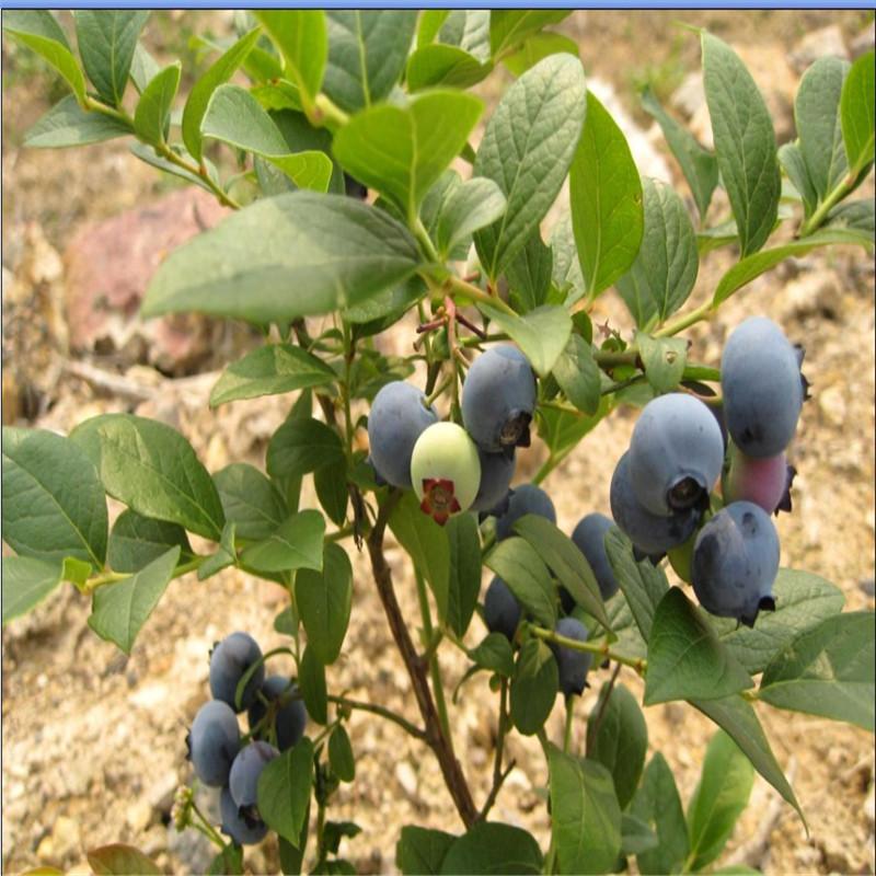 北村蓝莓苗特点 北村蓝莓苗怎么样