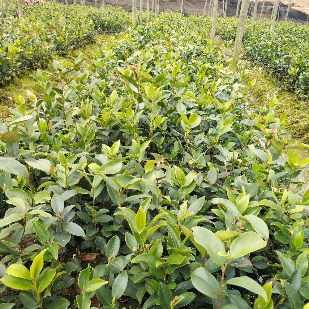 油茶杯子苗-油茶杯子苗批发-油茶杯子苗基地-油茶杯子苗价格