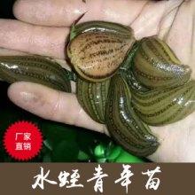 供应优质水蛭种苗 水蛭青年苗 中药材水蛭活体特种养殖种苗批发