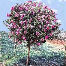 茶梅树的种植方法