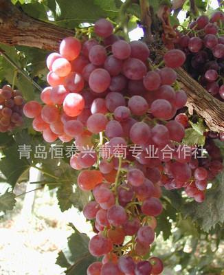 专业多种葡萄苗木 红宝石无核葡萄苗木