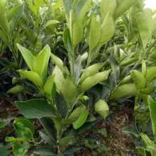 广西桂林脐橙苗基地-广西脐橙苗价格、批发报价、价格大全/厂家