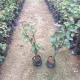 河南同安红三角梅苗种植基地/龙海市同安红三角梅苗批发价格/龙海市同安红三角梅苗价格