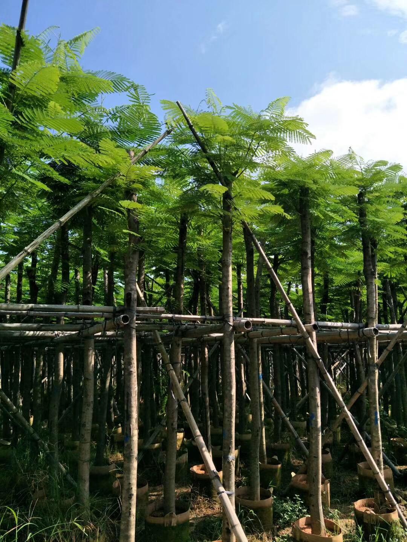 凤凰木种植基地 凤凰木大型种植基地 广东凤凰木