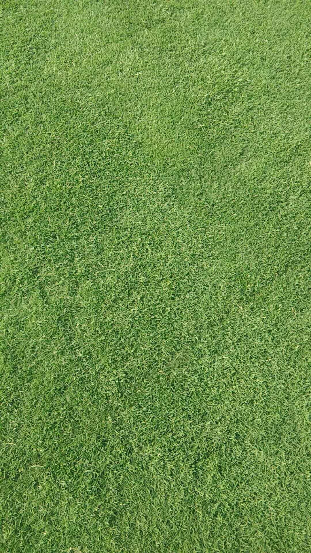 百慕大草坪销售