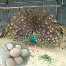 湖南蓝做种养殖基地,湖南孔雀做种养殖基地,湖南珍禽孔雀蛋批发