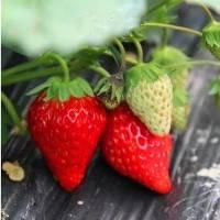 云南哪里有草莓苗批发卖种植基地_云南草莓苗批发价格表_【泰安高新区北集坡凯硕园艺场】