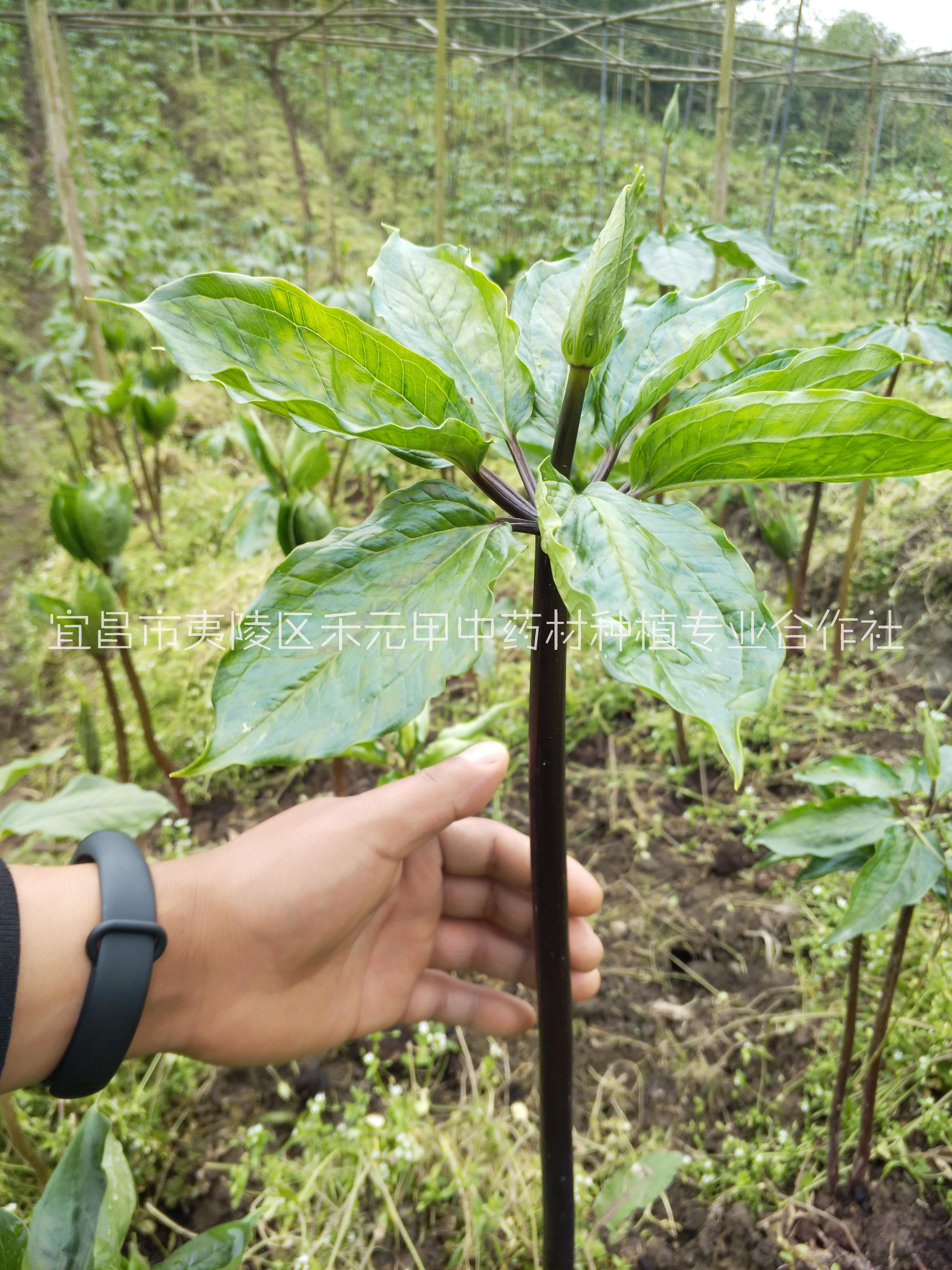 重楼种苗种子种植技术
