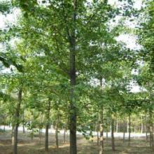 山东银杏树大型苗木种植批发