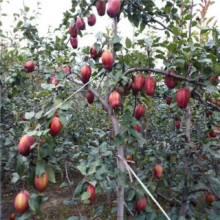 早酥红梨苗 0.8公分以上红梨苗