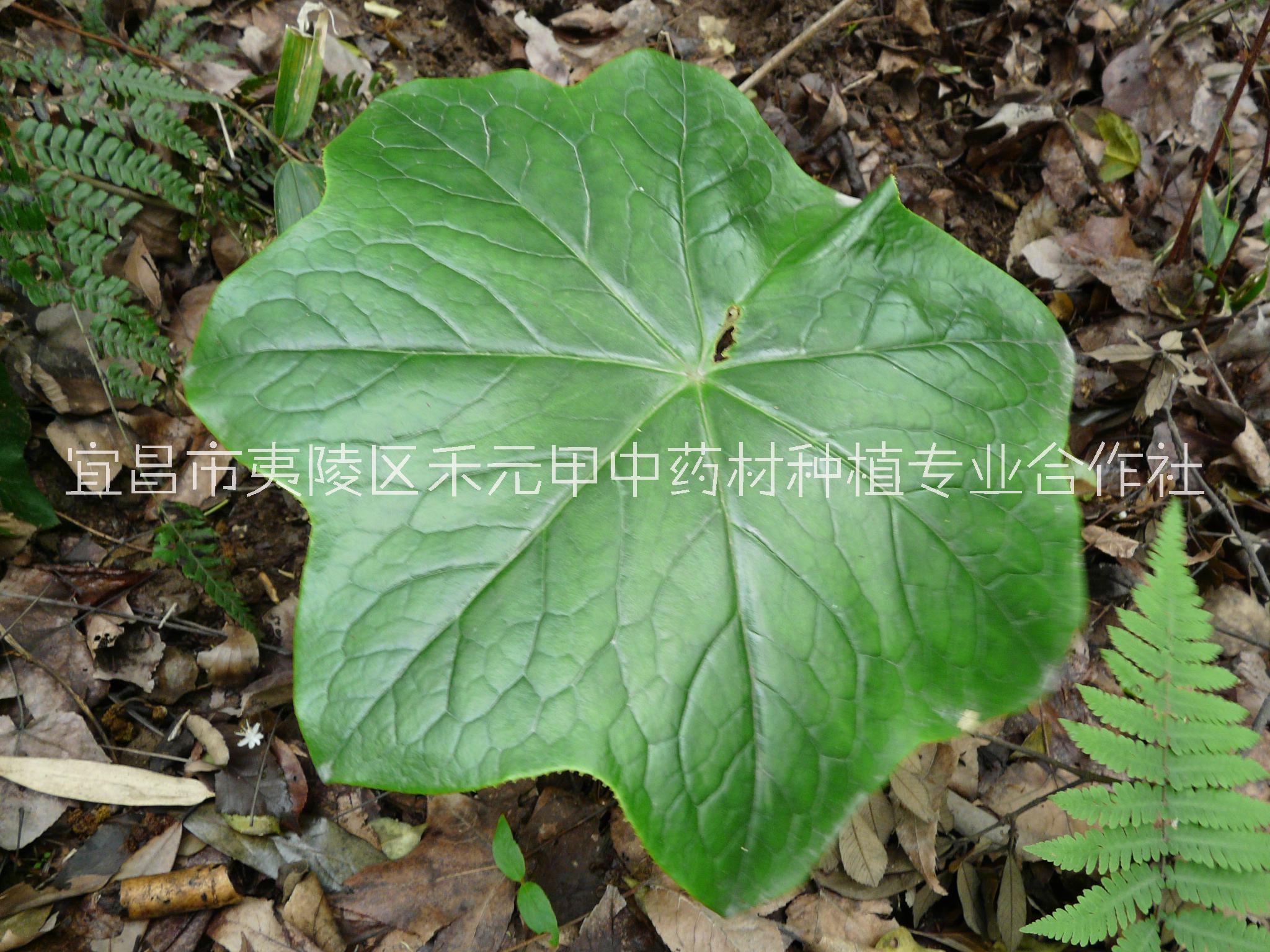 八角莲种苗种植基地