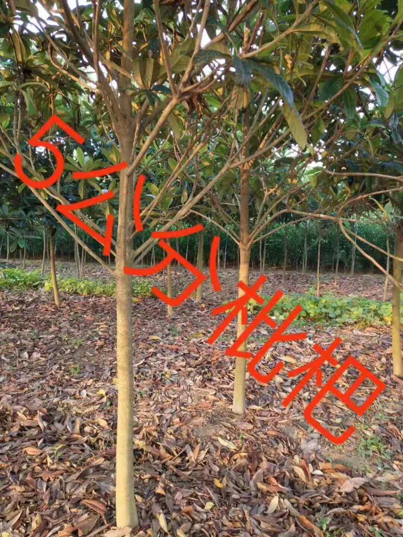 江苏盐城枇杷树种植基地-防护树江苏盐城枇杷树批发价格-【东台市周氏苗圃】
